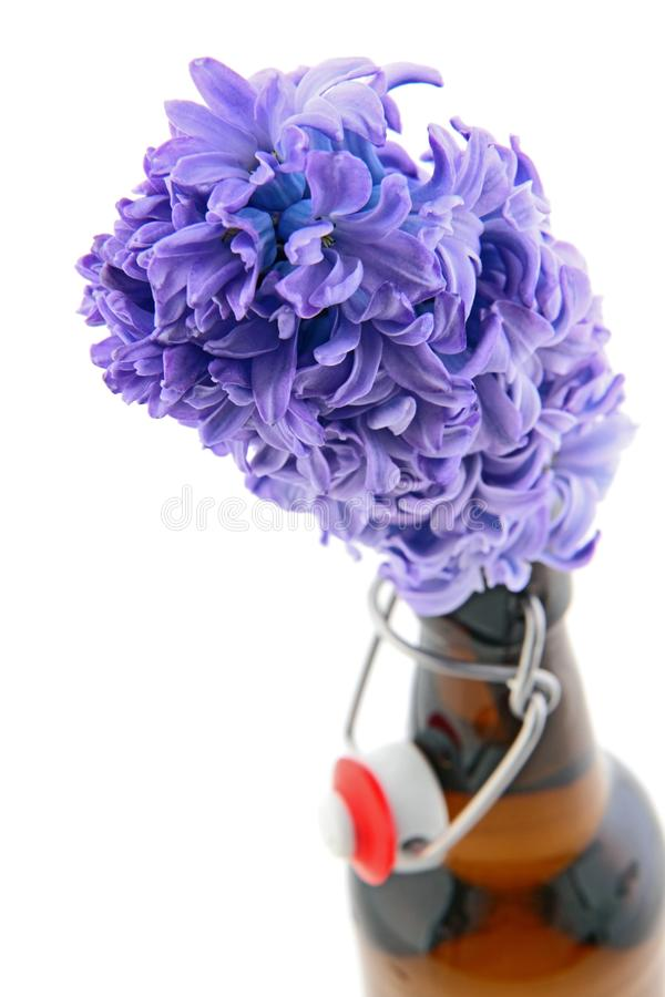 Violet Hyacinth Stock Images