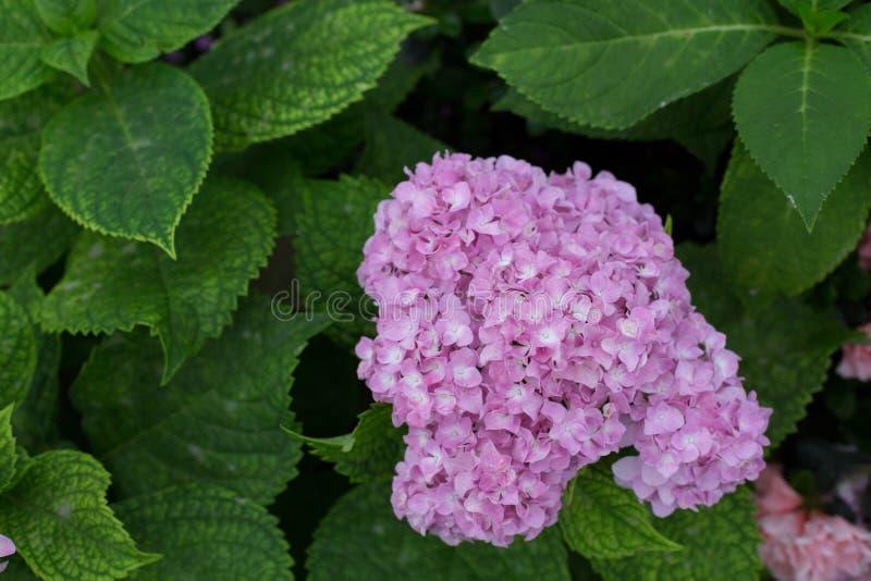 Violet Hydrangea royaltyfria foton