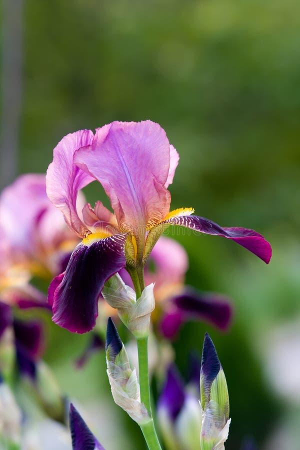 Violet Iris Royalty Free Stock Images