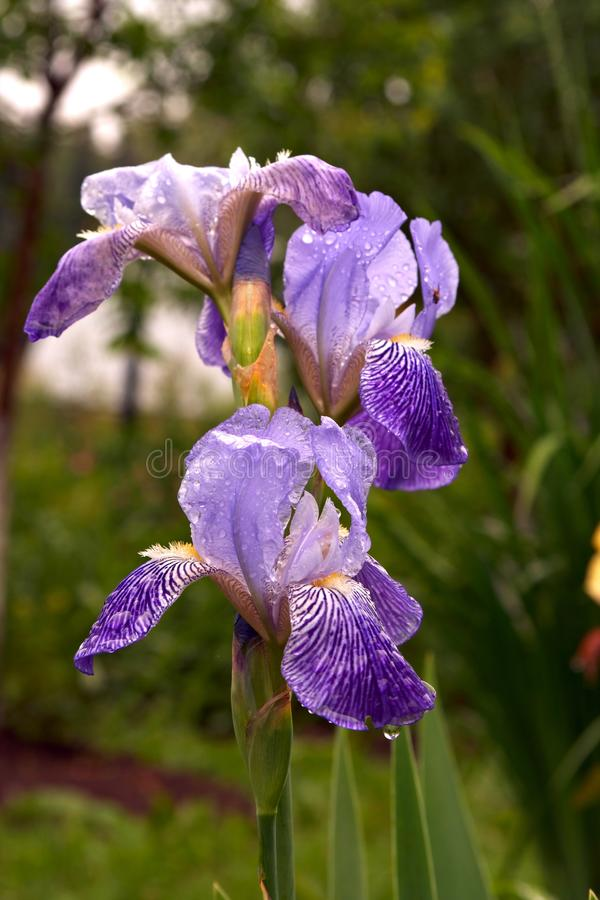 Download Violet iris stock photo. Image of summer, petals, flowers - 12987498