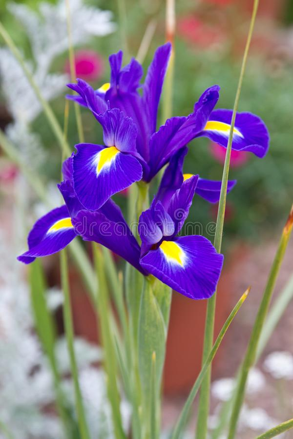 Violet Iris flower royalty free stock photography