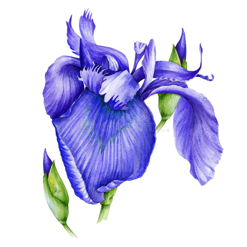 Free Violet Iris Flower Watercolor Illustration. Wild Purple Bearded Single Iris In A Full Bloom With A Bud Hand Drawn Image. Fresh Gar Royalty Free Stock Photography - 165621317