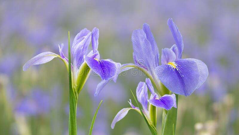Violet iris flowers Iris germanica on blurred green natural garden background royalty free stock image