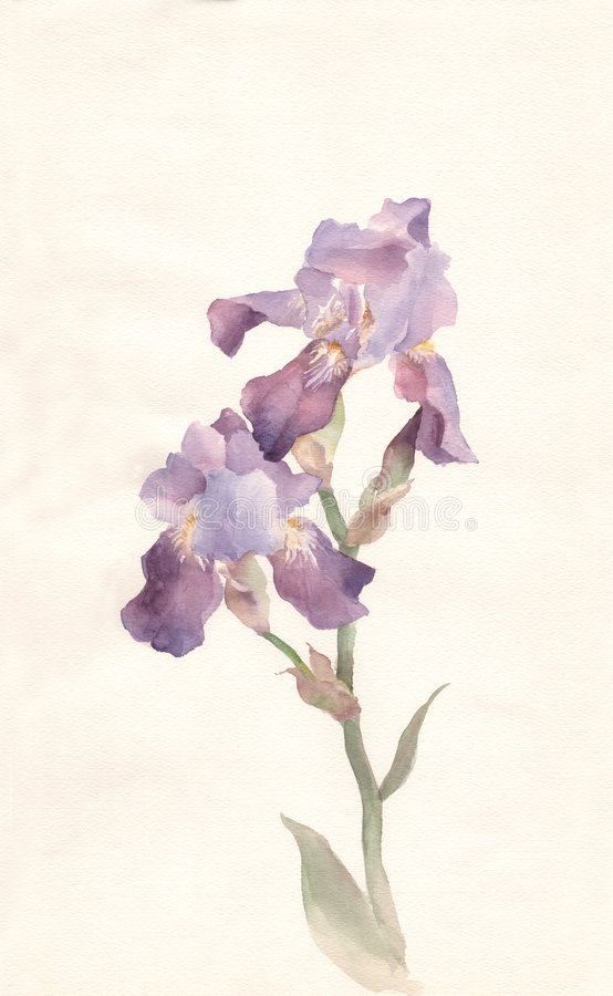 Violet iris watercolor painting vector illustration