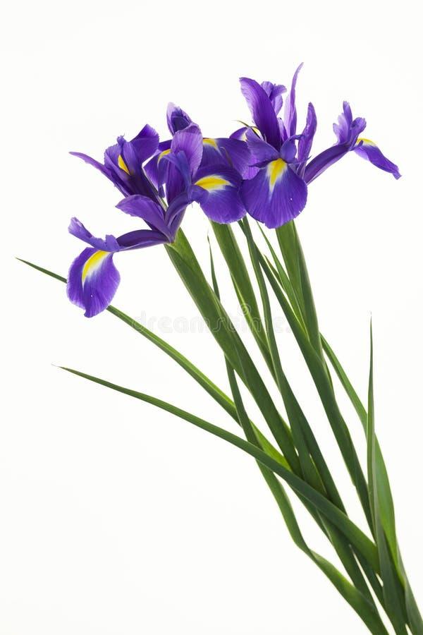 Violet Irises lökformig iris, irissibirica på vit bakgrund En bukett av purpurfärgade iriers blommar, closeupen på en vit bakgrun royaltyfri fotografi
