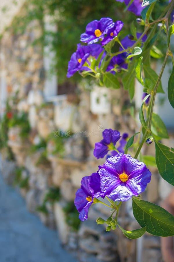 Violet Jasmine som växer på en naturlig stenvägg i Grekland royaltyfria foton