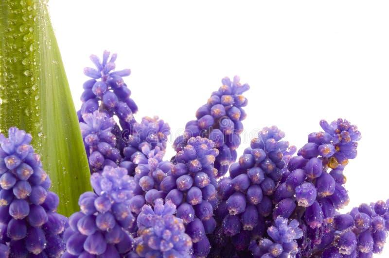 violet, kwiat obrazy royalty free