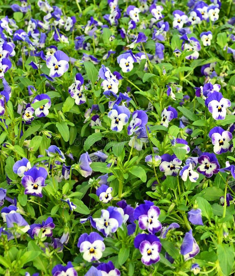 Download Violet landscape stock photo. Image of leaves, gardening - 26600204