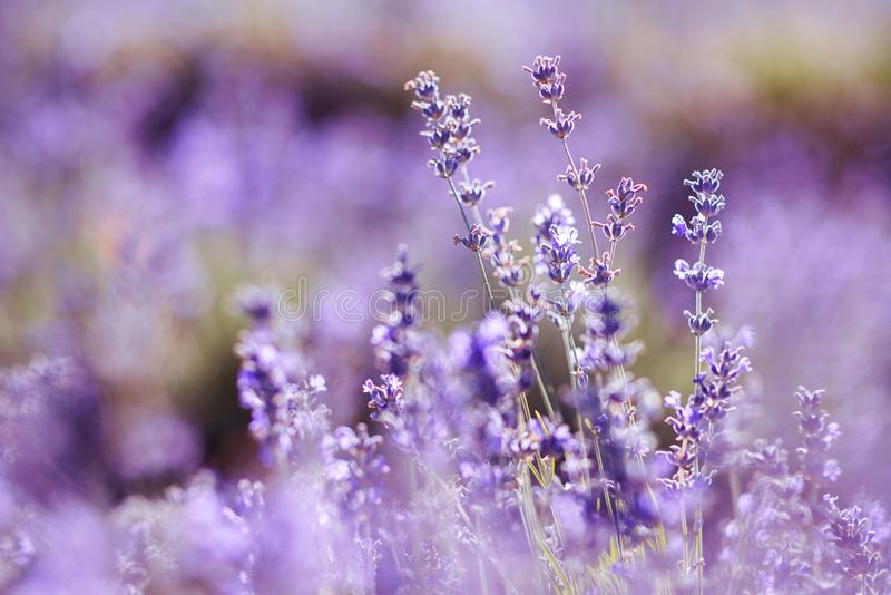 Violet lavendelgebied bij zacht lichteffect stock foto