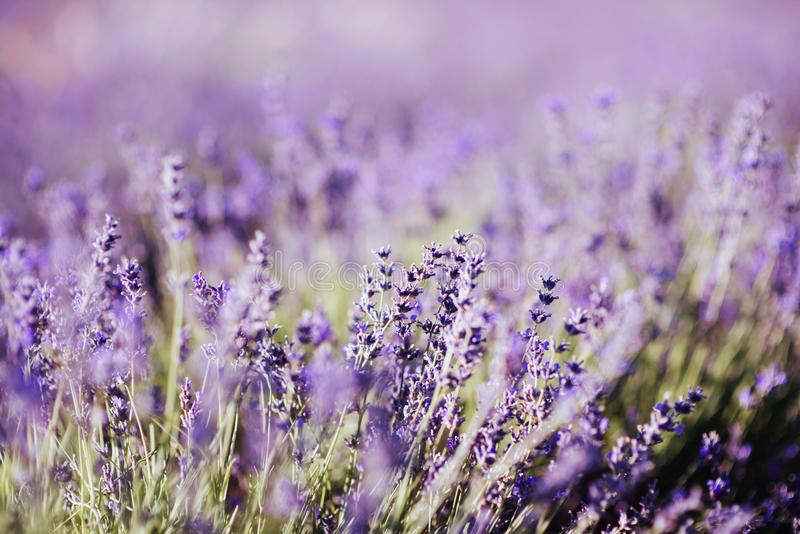 Violet lavender field at soft light effect royalty free stock photos