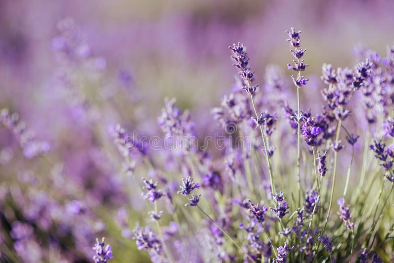 Violet lavender field at soft light effect royalty free stock photography