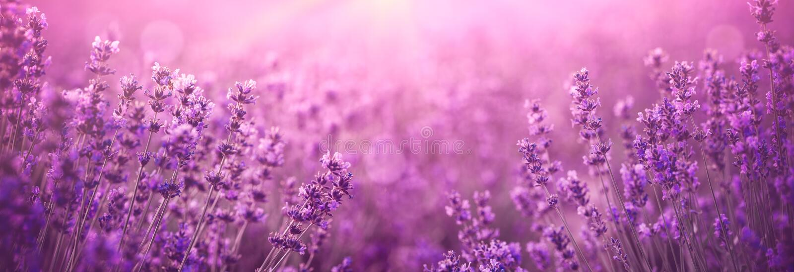 Violet lavender field. At sunset stock photography