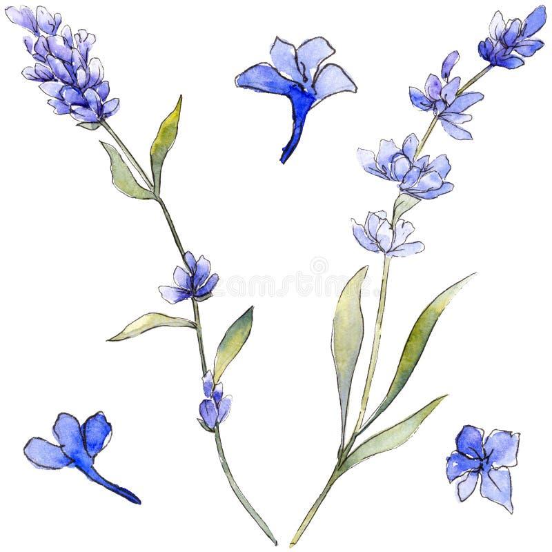Violet lavender. Floral botanical flower. Wild spring leaf wildflower isolated. Aquarelle wildflower for background, texture, wrapper pattern, frame or border vector illustration