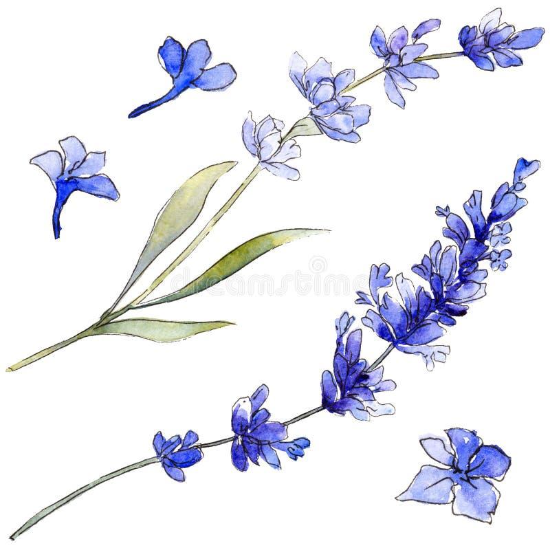 Violet lavender. Floral botanical flower. Wild spring leaf wildflower isolated. Aquarelle wildflower for background, texture, wrapper pattern, frame or border stock illustration