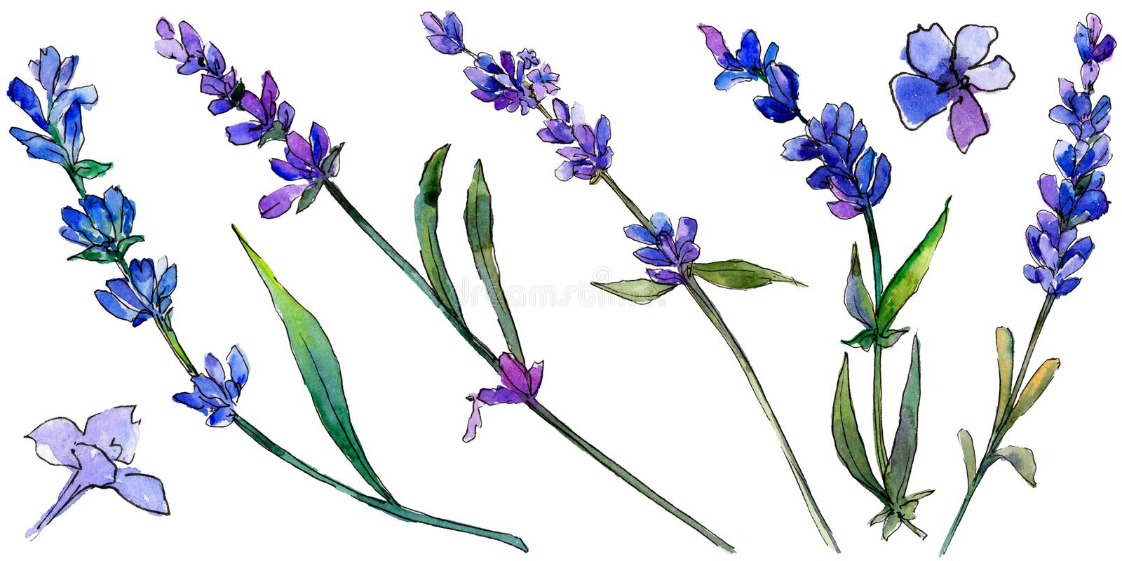 Violet lavender. Floral botanical flower. Wild spring leaf wildflower isolated. royalty free illustration
