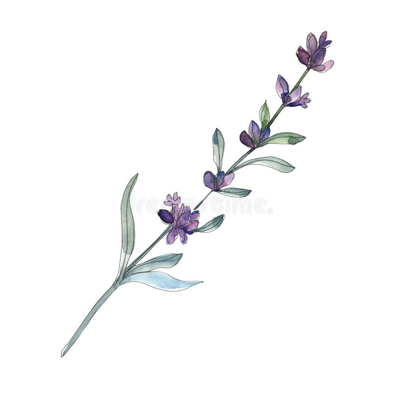 Violet lavender floral botanical flowers. Watercolor background set. Isolated lavender illustration element. vector illustration