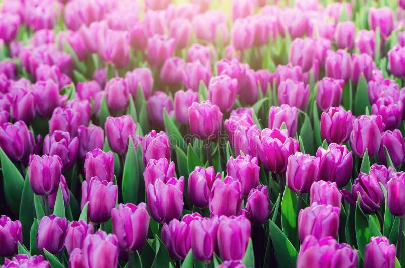 Violet lila, lila tulpanbakgrund Sommar och vårbegrepp, kopieringsutrymme Tulpanblommafält i solljus slappt fotografering för bildbyråer