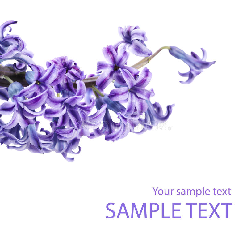 Violet Lilac Flower Twig Royalty Free Stock Photo