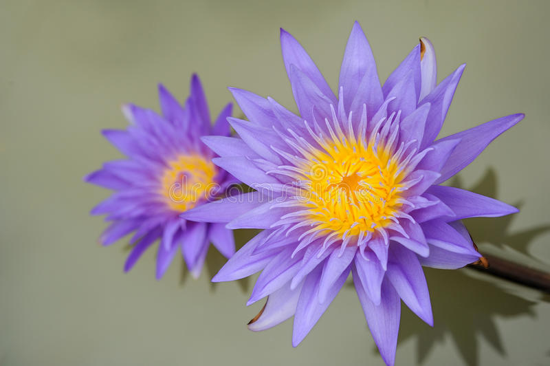 Download Violet Lotus stock photo. Image of floral, bloom, green - 16808160
