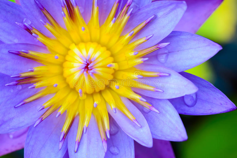 Violet Lotus Flower Closeup. With green background royalty free stock photography