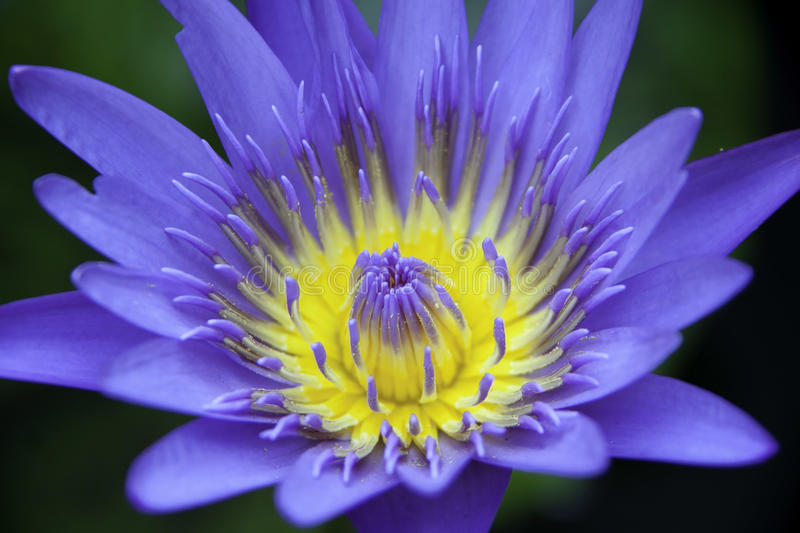 Violet lotus flower. Thailand macro royalty free stock photos