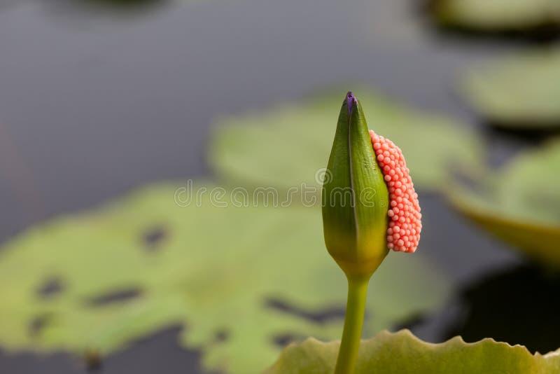 Violet Lotus med pinnen för äggskal royaltyfria foton