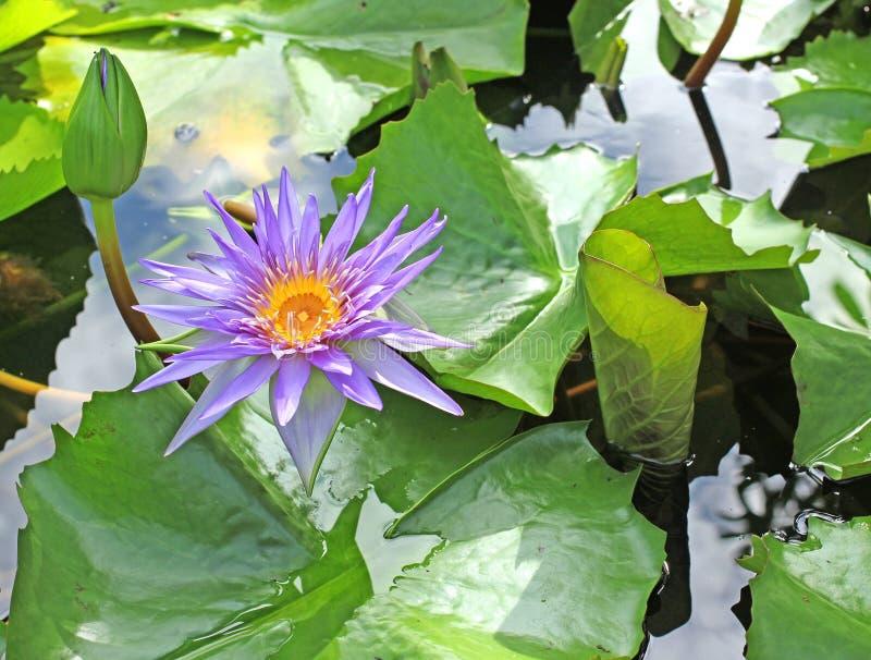Violet Lotus o ninfea immagine stock