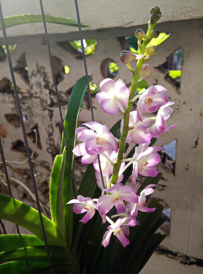 violet malaysia orchids royalty free stock photography