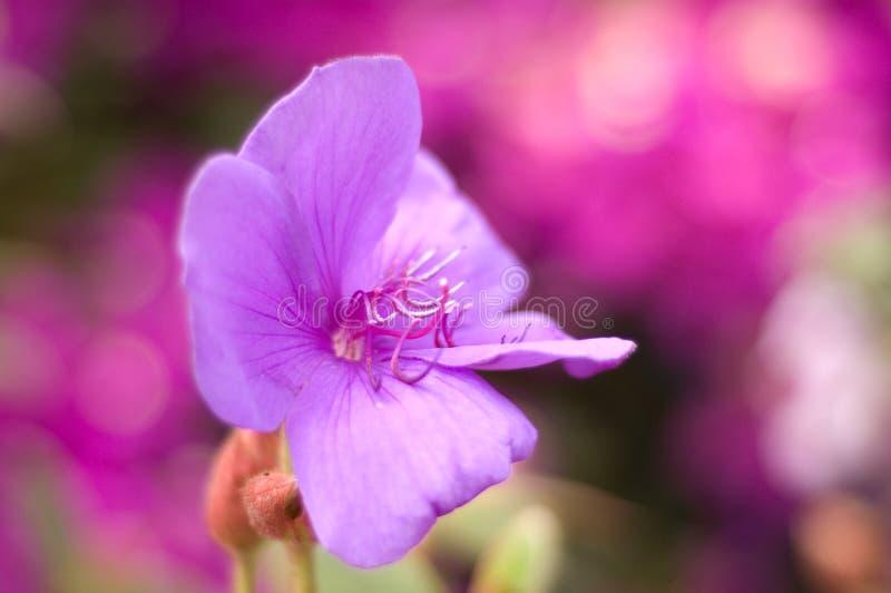 Violet Mallow Flower en Meeldraad royalty-vrije stock fotografie