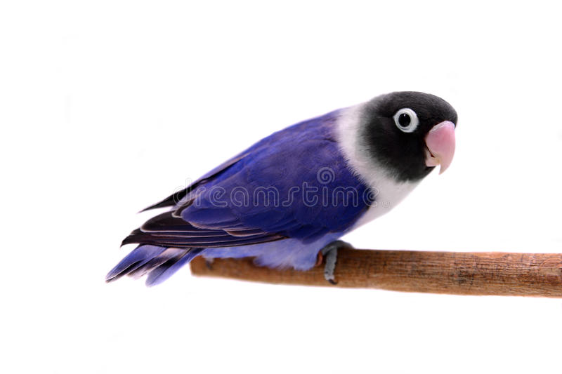 Download Violet Masked Lovebird Royalty Free Stock Photography - Image: 27199567