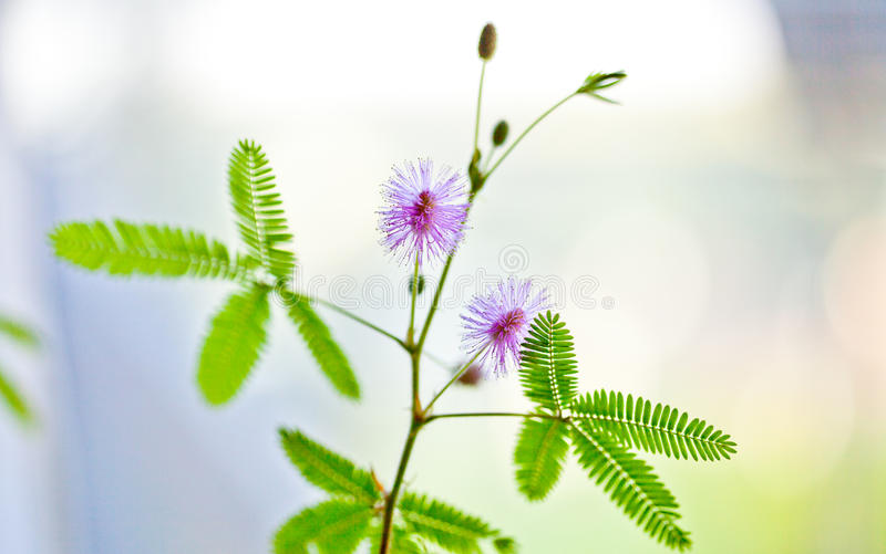 Violet Mimosa pudica stock photo