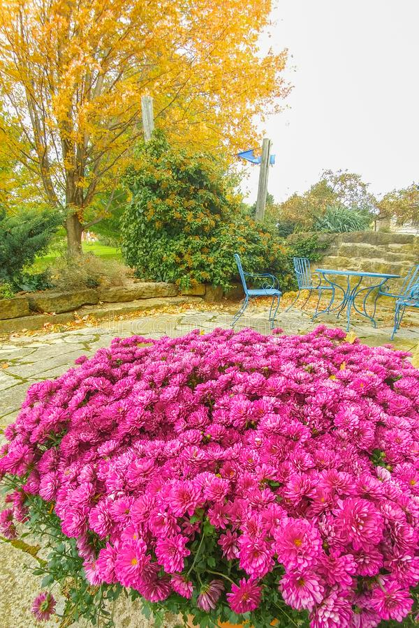 Violet Mums in Fall with Yellow Fall Tree in Back royalty free stock photography