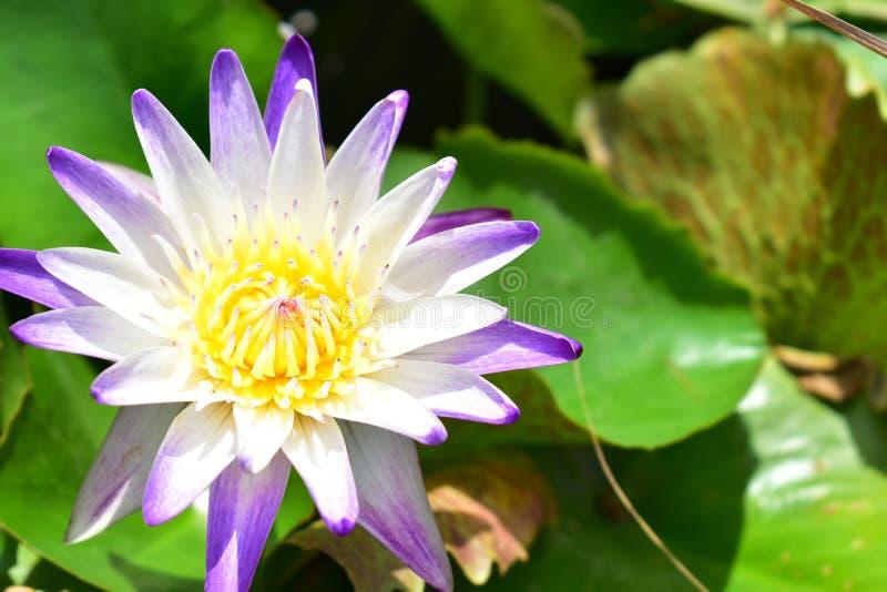 Violet Nelumbo Nucifera Lotus Flower en la charca foto de archivo