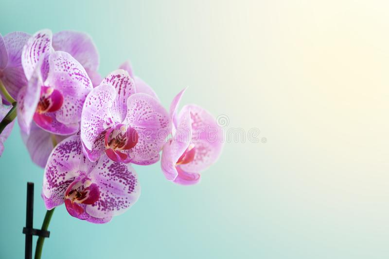 Violet orchid on blue background. Banner with copy space. Spring, woman day concept. Light bokeh effect.  stock photos