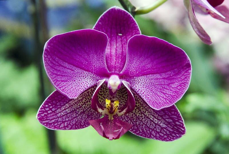 Violet Orchid Flower roxa na estufa do conservatório da propriedade de Biltmore fotos de stock royalty free