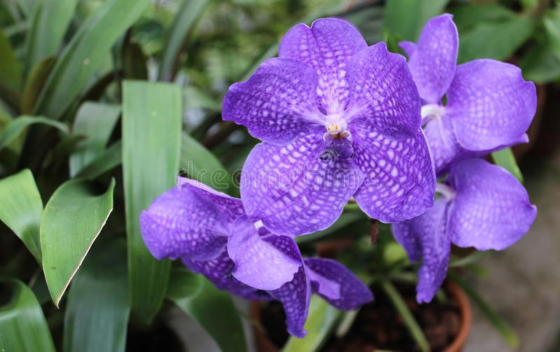 Violet orchid flowers in the Conservatory of Flowers, San Francisco. royalty free stock photography