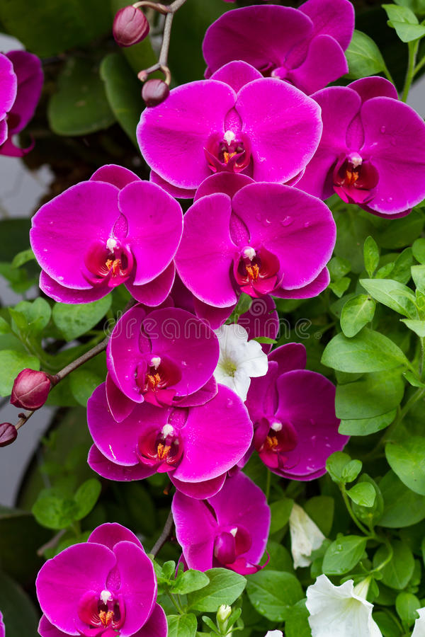 Violet Orchid Flowers. In the garden stock photos