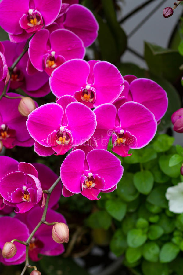 Violet Orchid Flowers. In the garden stock photo