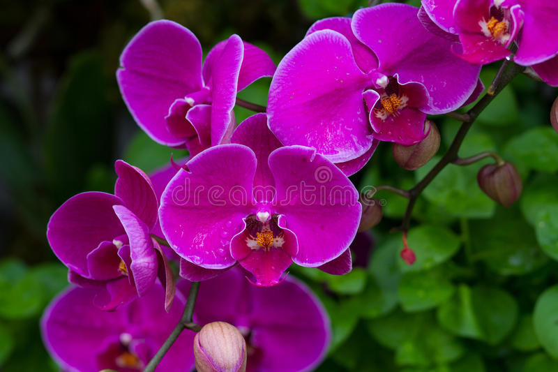 Violet Orchid Flowers. In the garden royalty free stock photos