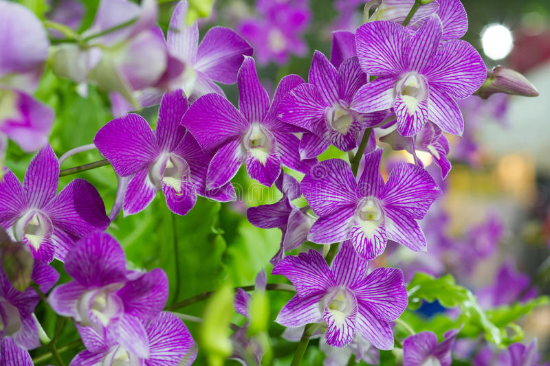 Violet Orchid Flowers in the garden stock photo