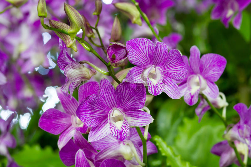 Violet Orchid Flowers in the garden royalty free stock photos