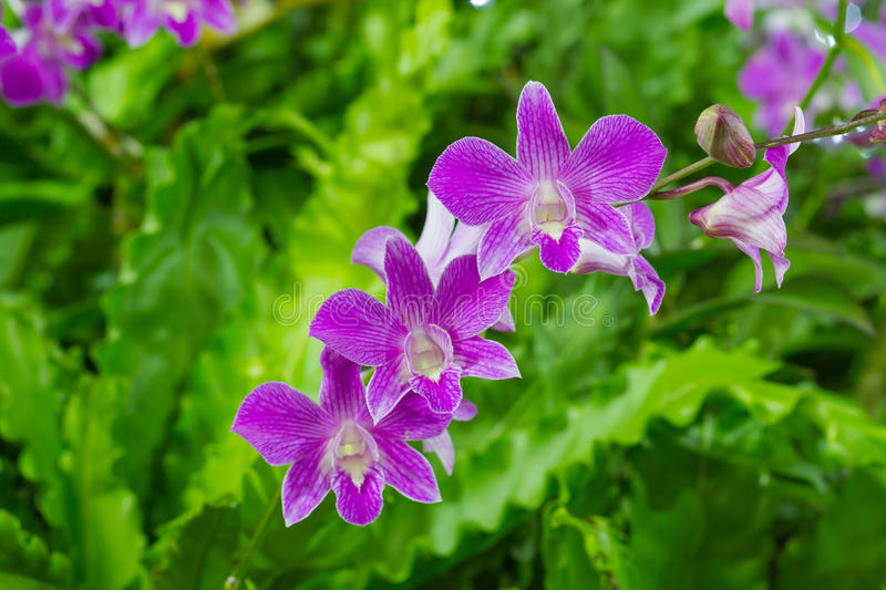 Violet Orchid Flowers in the garden royalty free stock images