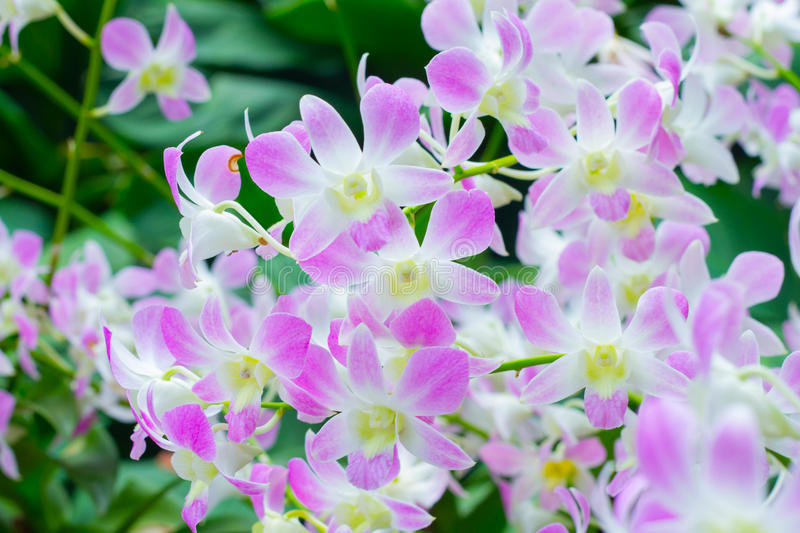 Violet Orchid Flowers royalty free stock images