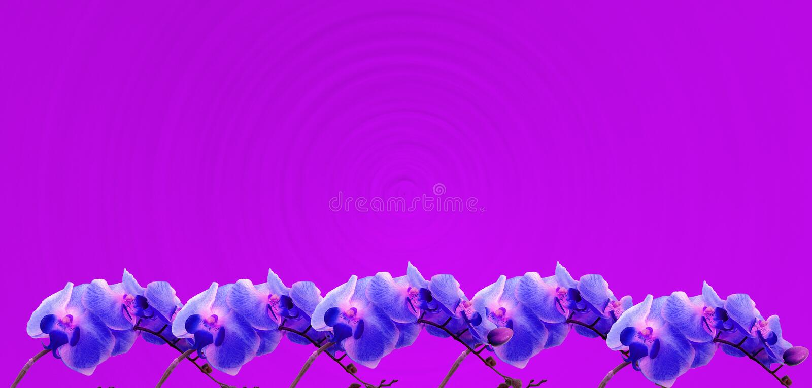 Violet orchids border on a bright fuchsia background royalty free stock photos
