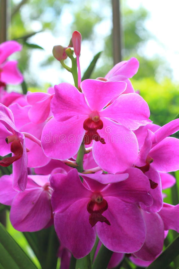Violet Orchids in the garden (Phalaenopsis Hybrid) royalty free stock photography