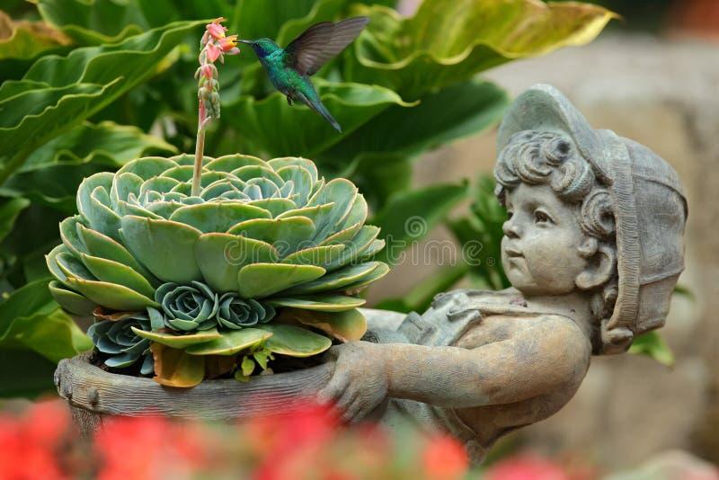 Violet-oreille verte de colibri, thalassinus de Colibri, volant à côté de la fleur rose dans le pot de fleurs gris de visage de b photographie stock