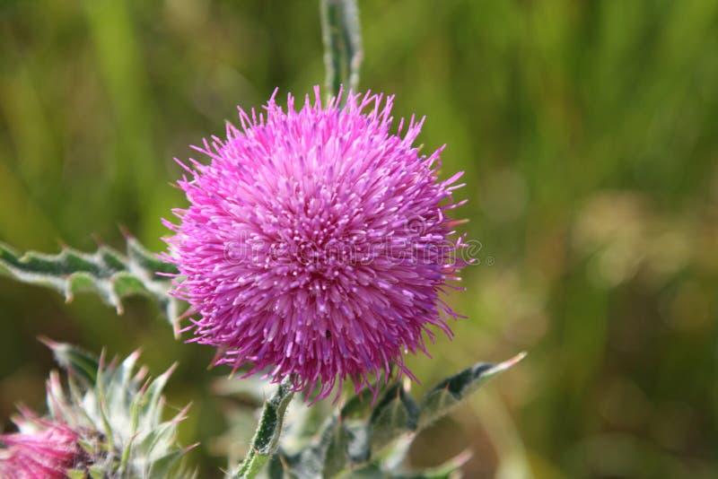 violet osetu zdjęcie stock