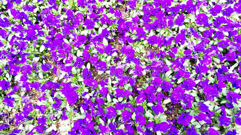 Violet pansies flowers in a garden stock photo