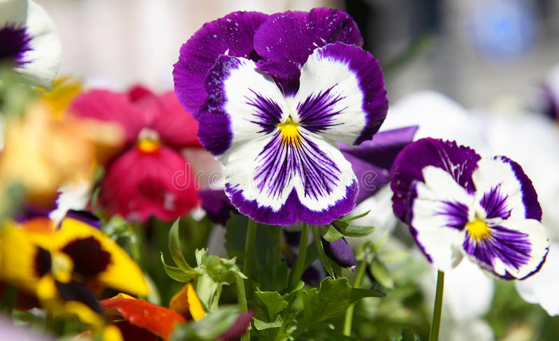 Violet pansies stock photos