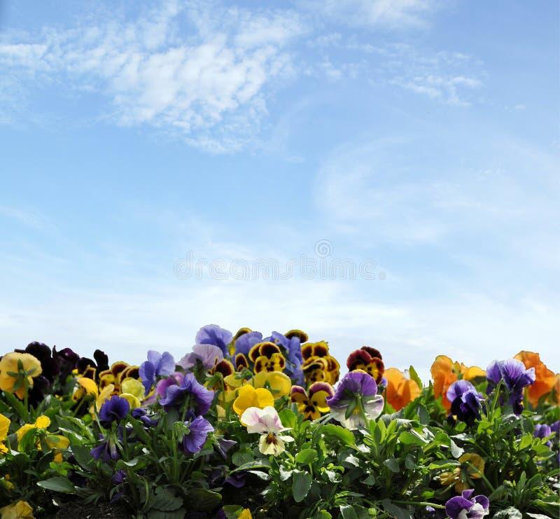 Violet Pansy auf blauem Himmel lizenzfreie stockfotos